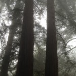 Redwoods at the Mount Madonna Center